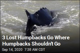 3 Lost Humpbacks Go Where Humpbacks Shouldn't Go