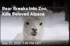 Bear Breaks Into Zoo, Kills Beloved Alpaca