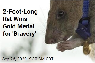 Rat Wins Gold Medal for His 'Skill and Bravery'