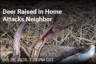 Deer Raised in Home Chases, Gores Neighbor