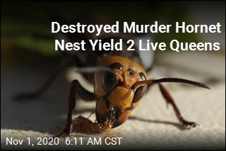 Wash. Captures 2 Murder Hornet Queens Alive