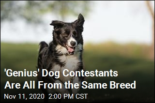 'Genius' Dog Contestants Are All From the Same Breed