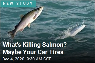 You Might Be Killing Salmon With Your Car Tires