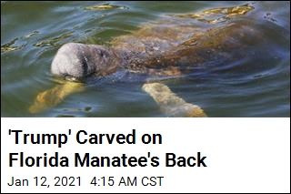 Somebody Carved 'Trump' on a Manatee's Back