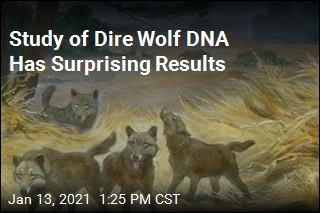 Study of Dire Wolf DNA Has Surprising Results