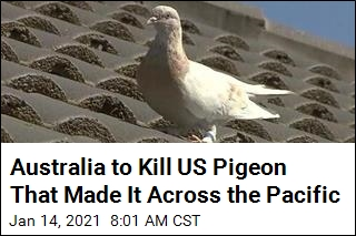 US Pigeon That Managed to Get to Australia to Be Killed