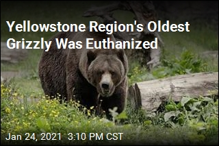 Grizzly Bear Confirmed as Yellowstone Region's Oldest
