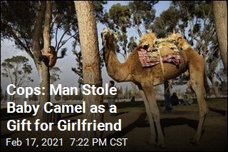 Man Arrested for Stealing Newborn Camel
