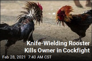 Knife-Wielding Rooster Kills Owner in Cockfight