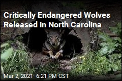 2 Endangered Wolves Released in North Carolina