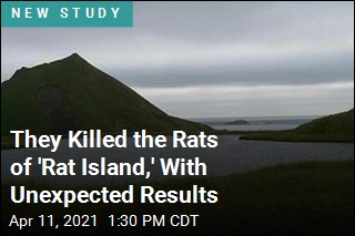 They Killed the Rats of 'Rat Island,' With Unexpected Results