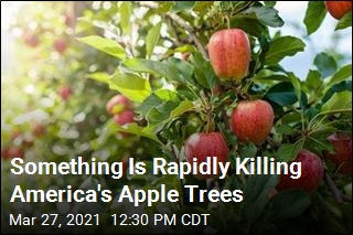 We Don't Know Why America's Apple Trees Are Rapidly Dying