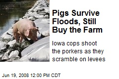 Pigs Survive Floods, Still Buy the Farm