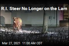 Steer That Escaped Slaughter Is Back in Custody