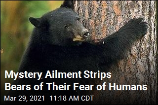 Ailment Makes Bears Fearless Around Humans