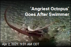 Swimmer Battered by 'Angriest Octopus'