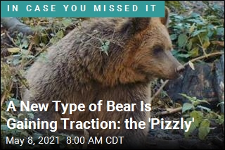 You Know Polar Bears, Grizzly Bears. Now Meet the 'Pizzly'