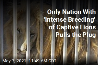 In South Africa, a 'Courageous Decision' on Captive Lions