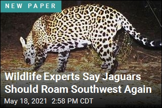 Scientists Issue a Plea: Bring Back the Jaguar