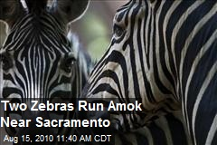Two Zebras Run Through Streets Of Sacramento